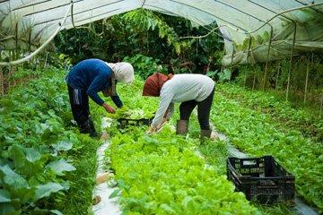 Staff harvesting